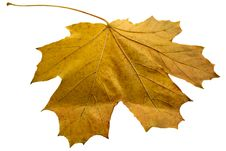 Free Yellow Maple Leaf Royalty Free Stock Photography - 7020407