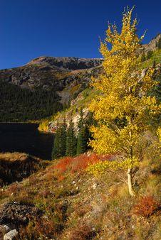 Free Aspen In Fall Stock Image - 7020611