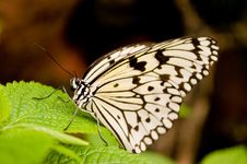 Free Butterfly Royalty Free Stock Image - 7021356
