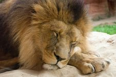Free Sleeping Lion Royalty Free Stock Photography - 7022107