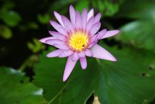 Free Water Lily Stock Photo - 7022480