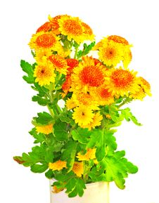 Free Orange Chrysanthemum Stock Photo - 7022690
