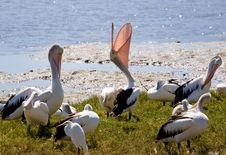 Group Of Pelicans Royalty Free Stock Photos