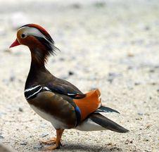 Free Mandarin Duck Royalty Free Stock Image - 7023356