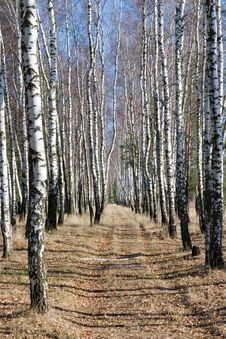 Free Birch Path Royalty Free Stock Photo - 7023825