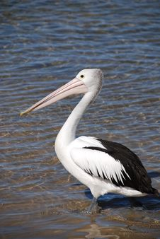 Free Pelican On Australian Coast Stock Images - 7023914