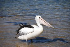 Free Pelican On Australian Coast Royalty Free Stock Photography - 7023917