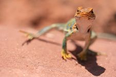 Free Daring Look Of A Lizard Royalty Free Stock Photography - 7024337