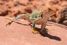 Free Eastern Collared Lizard Royalty Free Stock Images - 7025279
