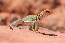 Free Eastern Collared Lizard Stock Photos - 7025283
