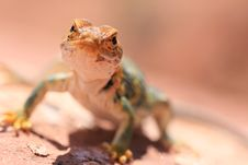 Free Eastern Collared Lizard Stock Photography - 7025302