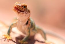 Free Eastern Collared Lizard Stock Images - 7025314