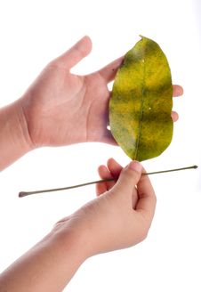 Free Holding Leaf Isolated Stock Photos - 7025443