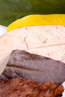 Free Autumn Leaves On White Stock Images - 7025494