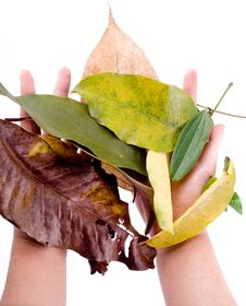 Free Holding Leaf Isolated Stock Photography - 7025582