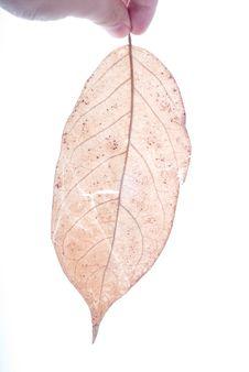 Free Holding Leaf Isolated Stock Photo - 7025610