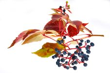 Free Leafage Of Wild Grape Royalty Free Stock Photography - 7029297