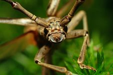 Free Longhorned Beetle Royalty Free Stock Images - 7029369
