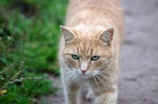Free Red Green-eyed Cat Royalty Free Stock Image - 7029756