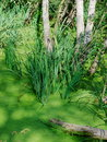 Free Green Water Plants Royalty Free Stock Photo - 7036115