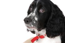 Free English Springer Spaniel Stock Images - 7030344