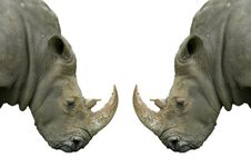 Isolated Rhinos On White Background Stock Photography