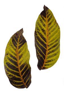 Free Leaf Royalty Free Stock Image - 7030696