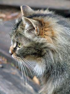 Free Wood Cat Royalty Free Stock Image - 7031536