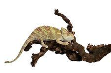 Green Chameleon Isolated Against  White Background Stock Photos