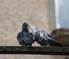 Free Kissing Doves Stock Photography - 7031752