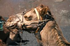 Free Head Of A Camel Royalty Free Stock Photo - 7032045