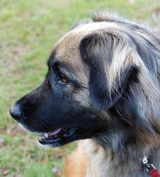 Free Leonberger Dog Stock Image - 7032611