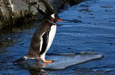 Free Gentoo Penguin Stock Photography - 7032672