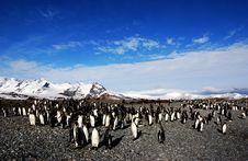 Free King Penguin Stock Image - 7032791