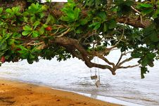 Free Two Swings On A Tree In Kauai Hawaii Royalty Free Stock Photo - 7033285