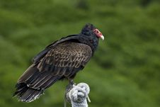 Free Turkey Vulture Royalty Free Stock Images - 7034479