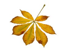 Free Leaf Royalty Free Stock Photography - 7034897