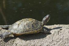 Free Turtle Royalty Free Stock Photo - 7035585