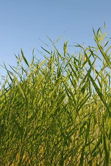 Free Reed Stems On Blue Sky Stock Photography - 7036252