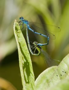 Free Damselflies Stock Photography - 7036612