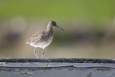 Eastern Willet Royalty Free Stock Images