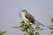 Northern Mockingbird (minus Polyglottos) Royalty Free Stock Photo