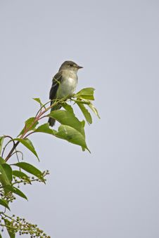 Free Eastern Willow Flycatcher Royalty Free Stock Image - 7037276