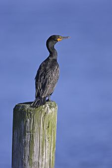Free Double-crested Cormorant Royalty Free Stock Photos - 7037408