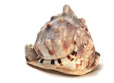Free Bullmouth Helmet Sea Shell Stock Image - 7037961