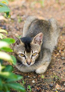 Free Crouching Kitten Behind Bush Royalty Free Stock Photo - 7039025