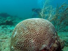 Free Brain Coral Stock Images - 7039304