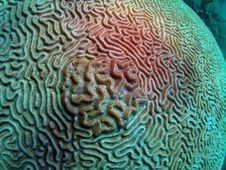 Free Brain Coral Stock Images - 7039444