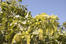 Free Figs In A Tree Stock Photo - 7039640