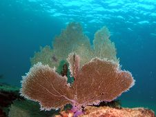 Free Fan Coral Royalty Free Stock Images - 7039649